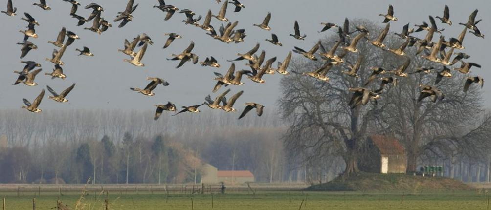 Wilde ganzen bij de Kop van 't Land